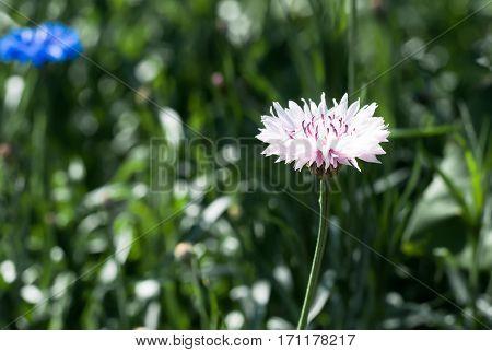 The Blooming Pink Garden Cornflower, Centaurea Cyanus, In Flowerbed With Bokeh Background, Macro, Se