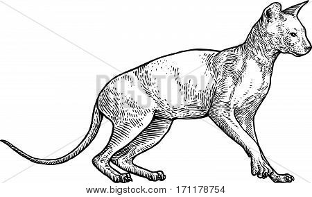Sphinx cat illustration, drawing, engraving, line art