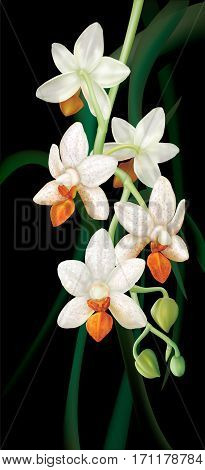 Branch with orchid flowers Phalaenopsis Mini Mark Holm on a dark background. Vector illustration