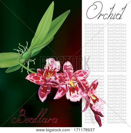 Orchid flowers Beallara of pseudobulb and leaves with text. Vector illustration