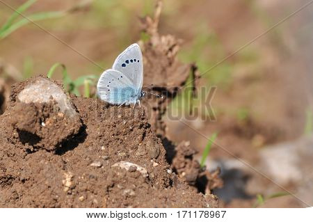 Green-underside Blue, Glaucopsyche alexis, butterfly on ground in natural habitat