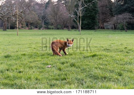 Urban fox (Vulpes vulpes) on grass in park in daylight. Hungry lame animal seeks food during afternoon in Bute Park Cardiff Wales UK