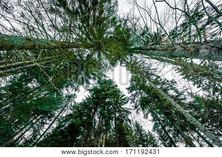 Bottom View Of Tall Old Trees In Forest In Winter.