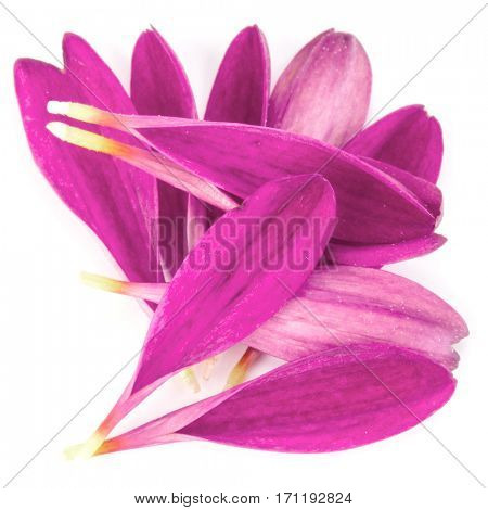 Lilac chrysanthemum flower petals isolated on white background