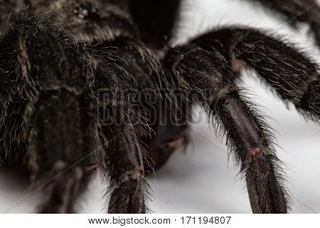 Isolated macro photo of black spider on white background