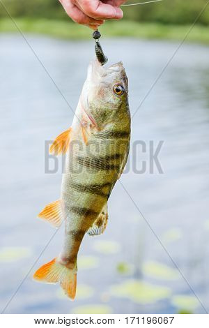 Perch fish catch on the hook. Bass river fish and natural background. Fishing activity. Catch of fish