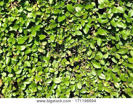 Dense green Privet Hedge textures background (leaves)