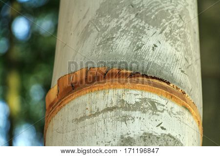 Close-up of giant lush bamboo in its natural environment