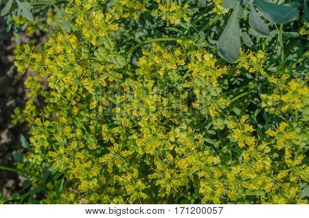 Blooming ruta graveolens in garden. Common rue plant