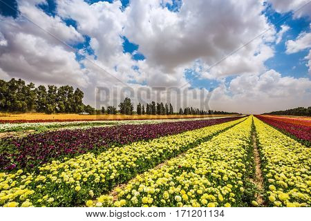 Garden buttercups bloom in bright colors. Farm field of flowers. Walk on a sunny day. The concept of eco-tourism