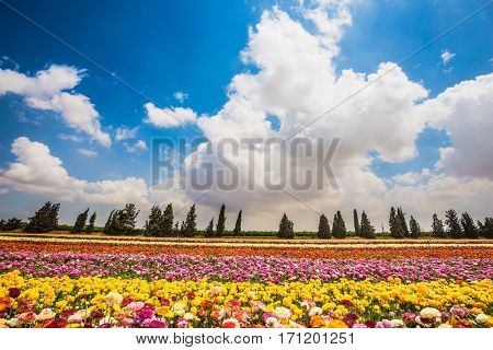 Magnificent flowering garden buttercups. Kibbutz field. Spring in Israel. The concept of modern agriculture and industrial floriculture