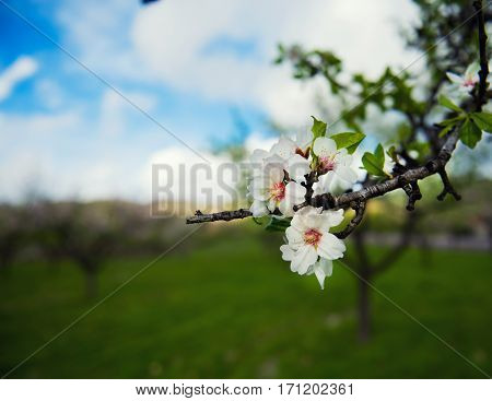 Beautiful blooming flowers on the branches Almond