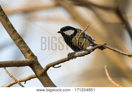 Great tit (Parus major) with shield bug prey. Song bird in the family Paridae clasping insect in feet