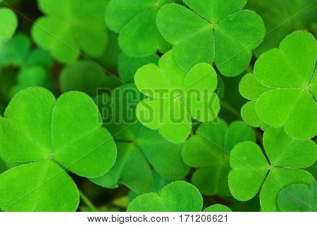 Green background with three-leaved shamrocks. St.Patrick's day holiday symbol. Shallow depth of field, focus on central  leaf.
