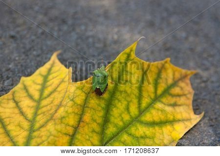 Shield Bug, Also Known As Stink Bug On Autumn Maple Leaf