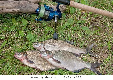 Several Common Bream Fish On The Natural Background. Catching Freshwater Fish And Fishing Rod With F