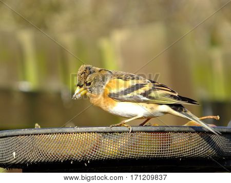 Brambling perched on a feeder tray containing fruit during winter