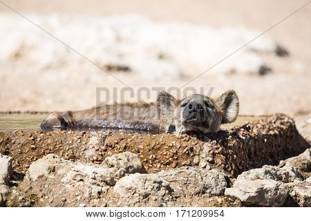 A Spotted Hyena sleeping and cooling off on a hot day in the drinking water