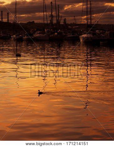 One little duck in nice sunset, wild bird and his reflection on a water, maltese bird. Golden sunset in Marsaxlokk, Malta