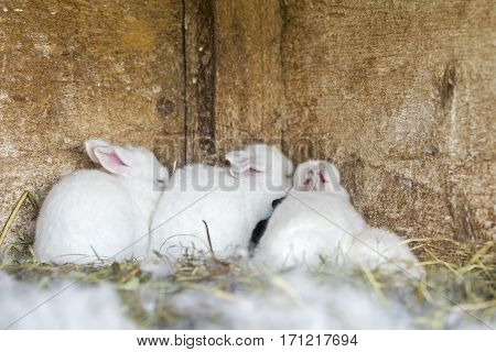 white newborn bunnies hiding in corner of old cage
