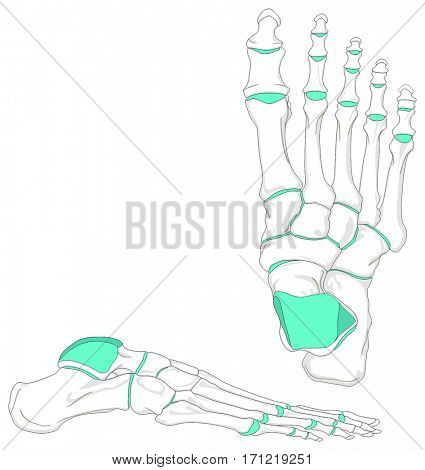 Human Foot Bones Anatomy Diagram in anatomical position Front and Lateral View with all bones and joints for Medical Education