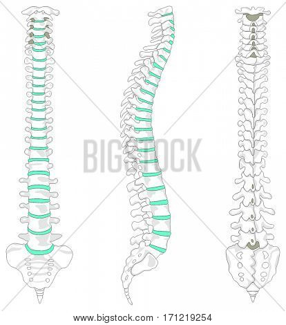 Vertebral Column spine structure of human body anterior posterior right lateral view with all vertebrae groups cervical thoracic lumbar sacrum coccyx caption for medical education