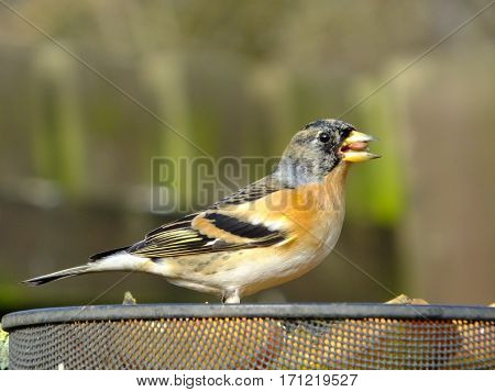 Brambling at a bird feeding station during wintertime