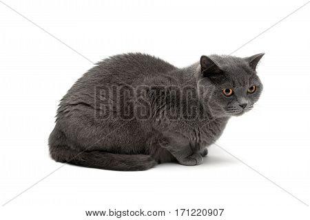 gray cat breeds Scottish Straight isolated on white background. horizontal photo.