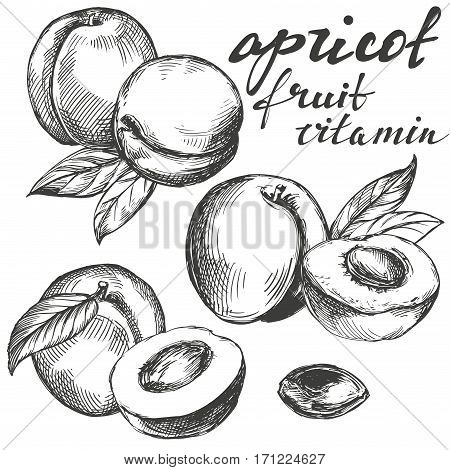 apricot fruit set hand drawn vector llustration realistic sketch