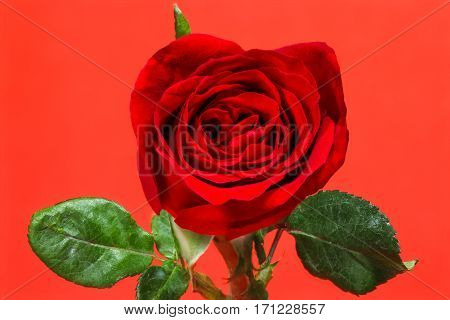 Single Simple Of Red Rose On Red Background, Valentine Day Concept