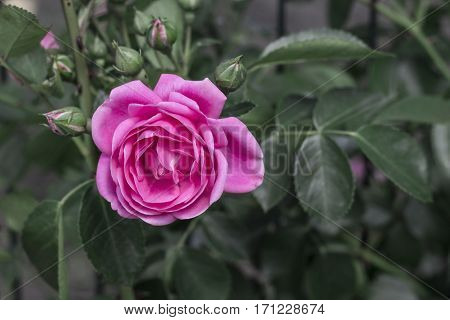 beautiful delicate spring flower close-up. flowers pink roses.