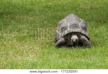 A Beautiful Tortoise Walking in a Grass Field.