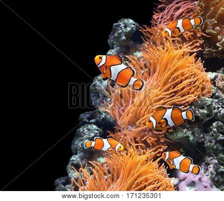 Sea anemone and clown fish in marine aquarium. On black background