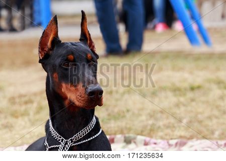 the dog breed Doberman Pinscher is lying