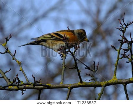 Brambling on the branch of a hawthorn