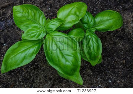 Flavorful sweet savory Genovese basil growing organically in a raised bed garden. Ready to be picked for salad or cooking.