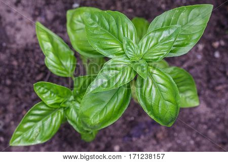 Flavorful sweet Genovese basil ripening organically in a raised bed garden. Ready for your favorite savory dishes.