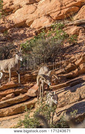 desert bighorn sheep in the fall rut in Utah