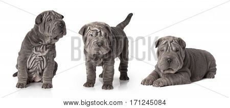 Set of thoroughbred sharpei puppy dog against white background