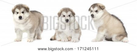 Photo collage of one month old Alaskan malamute puppies over white