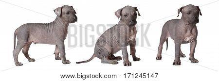 Three hairless thoroughbred xoloitzcuintle puppies studio shot on white background