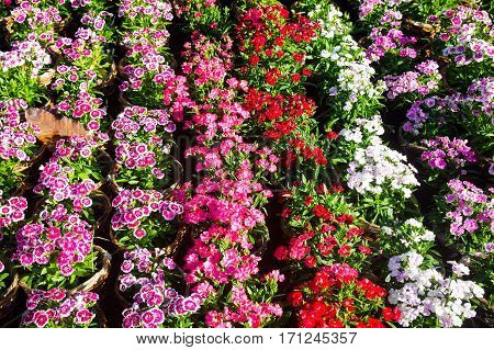 Colorful Carnation flowers lines in a park in sunlight can use as background