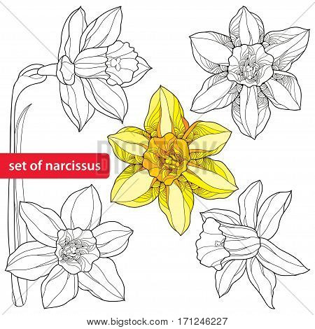 Vector set with outline narcissus or daffodil flowers isolated on white background. Ornate floral elements for spring design and coloring book. Narcissus flower in contour style.