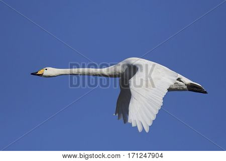 Whooper swan in flight with blue skies in the background
