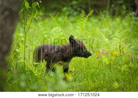 Black Grey Wolf (Canis lupus) Pup Looks Right - captive animal