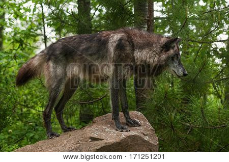 Black Grey Wolf (Canis lupus) on Rock - captive animal