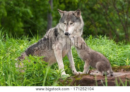 Grey Wolf (Canis lupus) Unwanted Pup Attention - captive animals