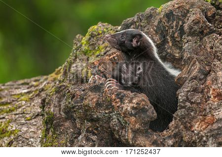 Striped Skunk (Mephitis mephitis) Looks Up From Within Log - captive animal