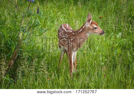 White-Tailed Deer Fawn (Odocoileus virginianus) Looks Right - captive animal