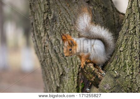 Eurasian red squirrel sitting on a tree at late autumnal season